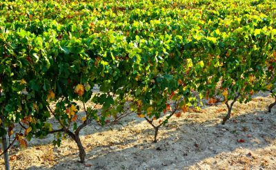 Split Croatia VIneyards