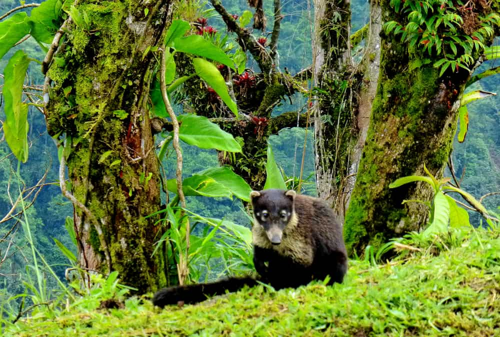Costa Rican Coatis
