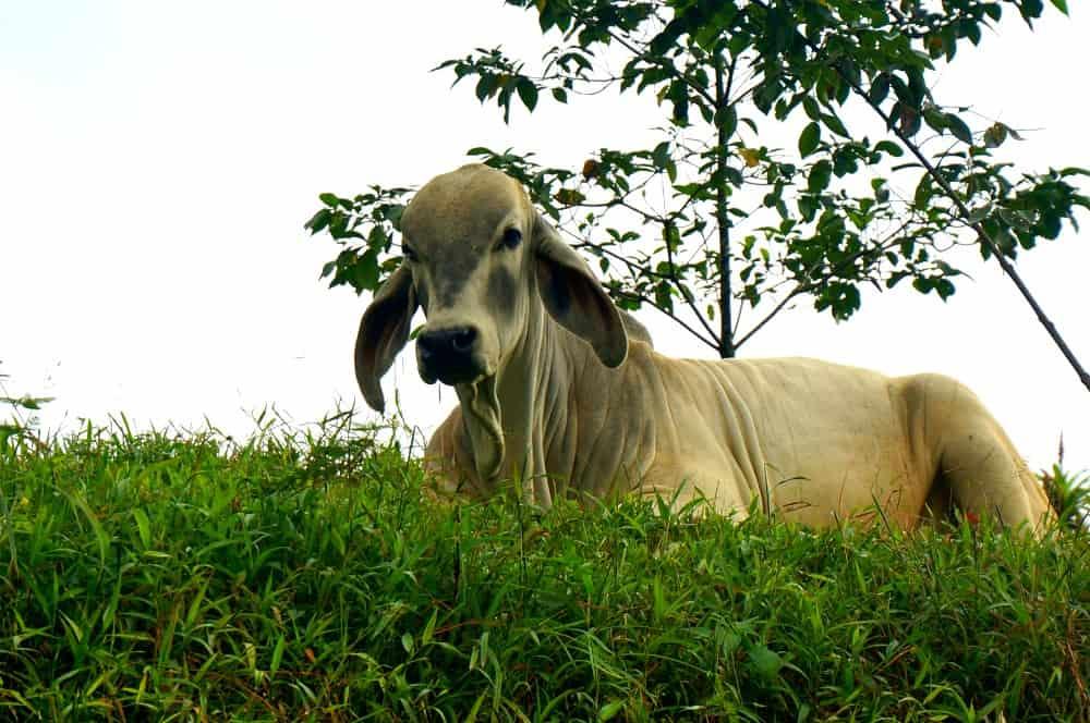 Costa Rican Long-eared Cow