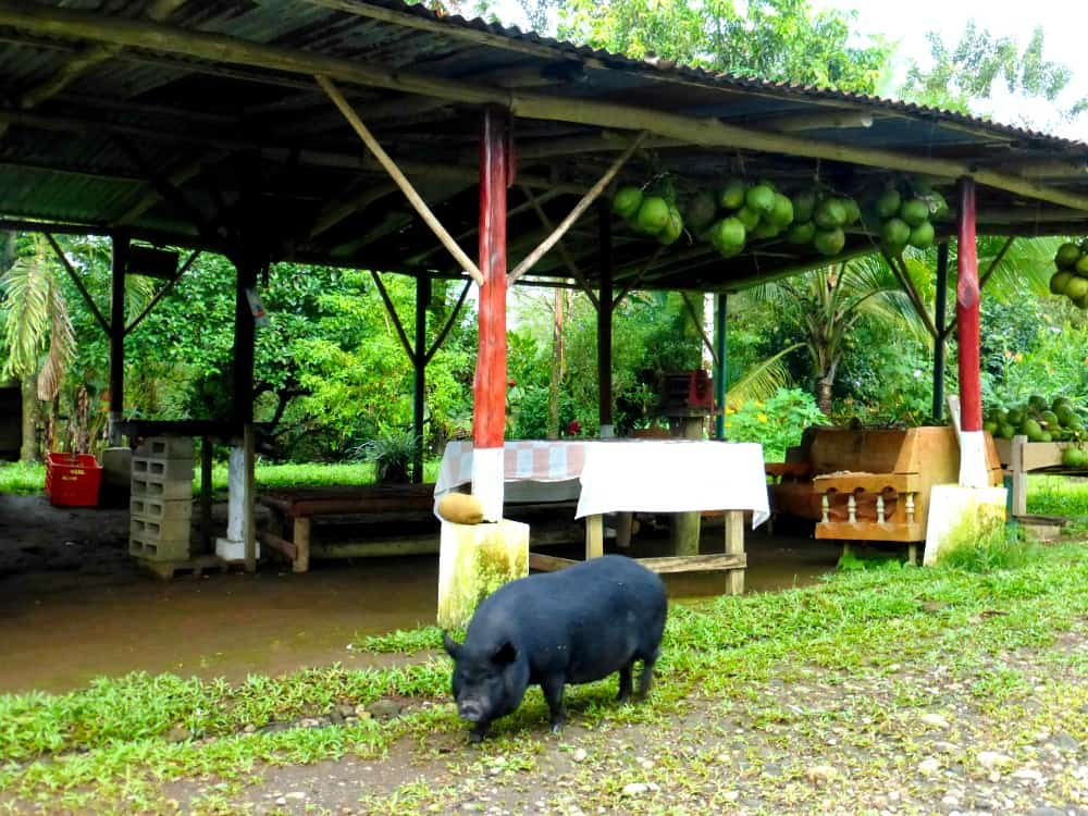 pig by coconut stand