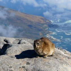 What is a Dassie?