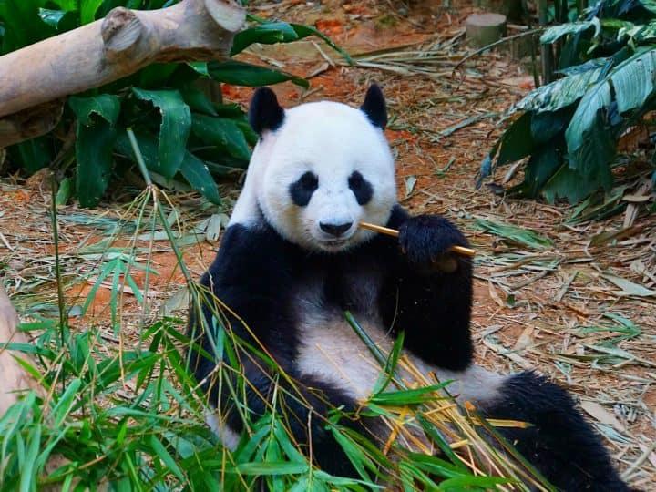 Panda Singapore Zoo