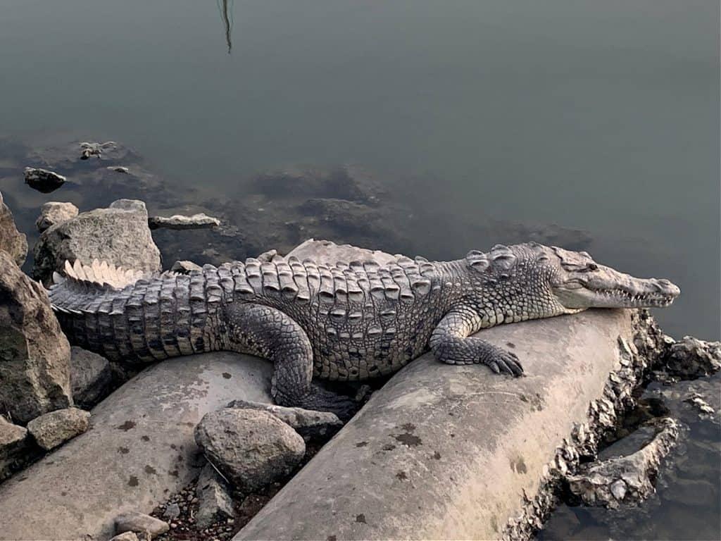 Vallarta Marina Croc